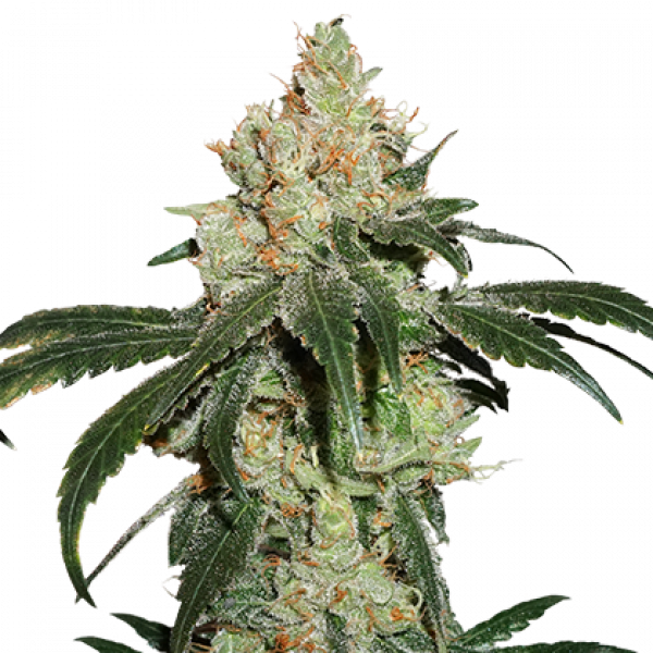 Nicole Cream Feminised Cannabis Seeds   Seed Stockers