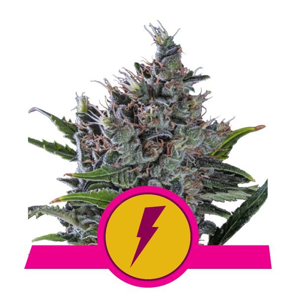 North Thunderfuck Feminised Cannabis Seeds | Royal Queen Seeds