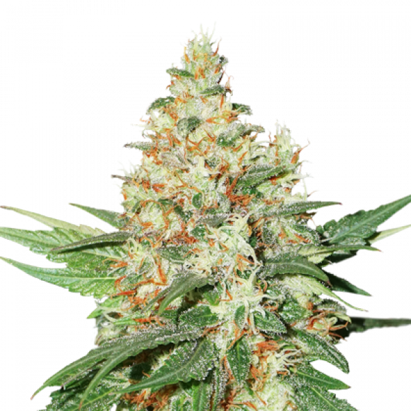O.G. Kush Auto Feminised Cannabis Seeds | Seed Stockers