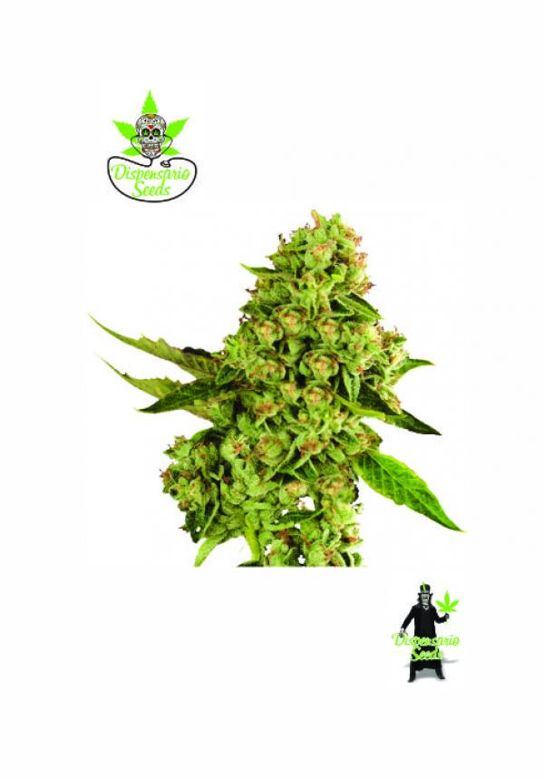 OG Cheese Feminised Cannabis Seeds | Dispensario Seeds