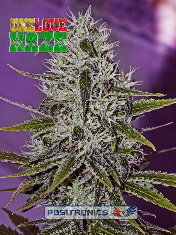 One Love Haze Feminised Feminised Cannabis Seeds | Positronics