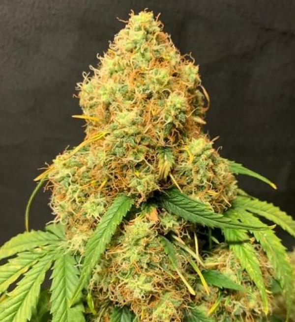 Orange Cookies Auto - Tastebudz - Discount Cannabis Seeds