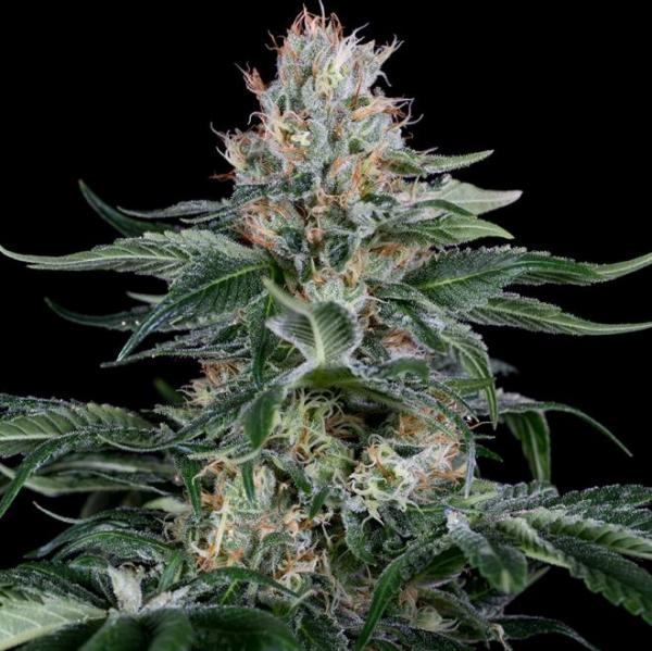 Orange Juice Feminised Cannabis Seeds - Dinafem Seeds