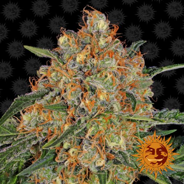 Orange Sherbert Feminised Cannabis Seeds | Barney's Farm