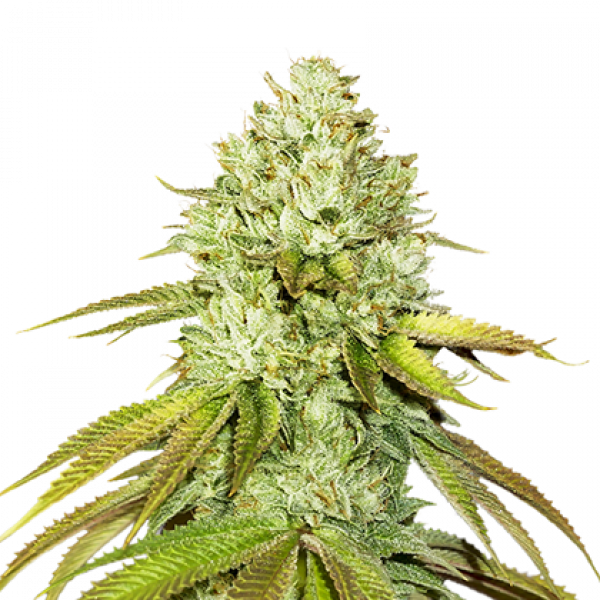 Pineapple Feminised Cannabis Seeds | Seed Stockers