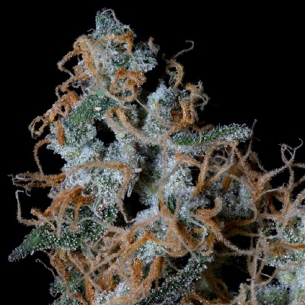 Platinum Cookies Feminised Cannabis Seeds | Big Head Seeds