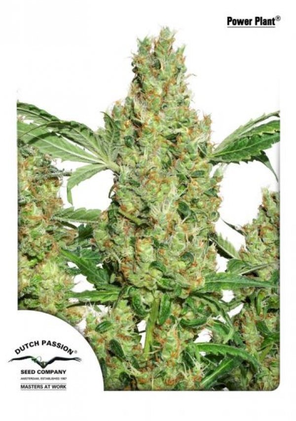 Power Plant Feminised Cannabis Seeds | Dutch Passion