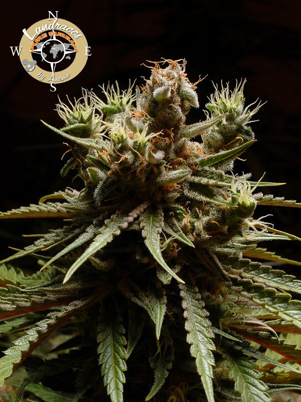 Pure Durban Poison Feminised Cannabis Seeds - Anesia Seeds
