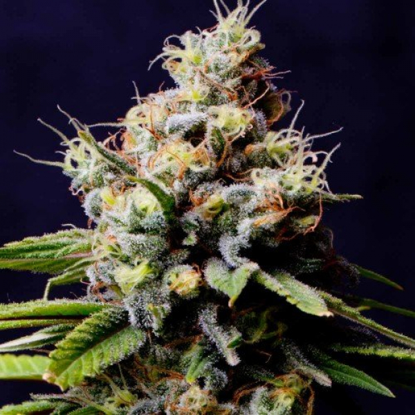Purple Berry Kush Feminised Cannabis Seeds – Spliff Seeds