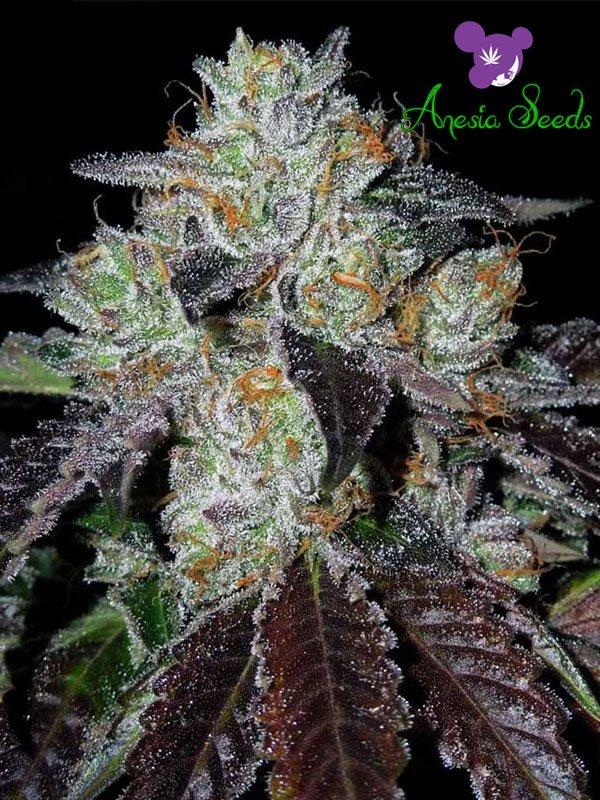 Purple Domina Feminised Cannabis Seeds - Anesia Seeds