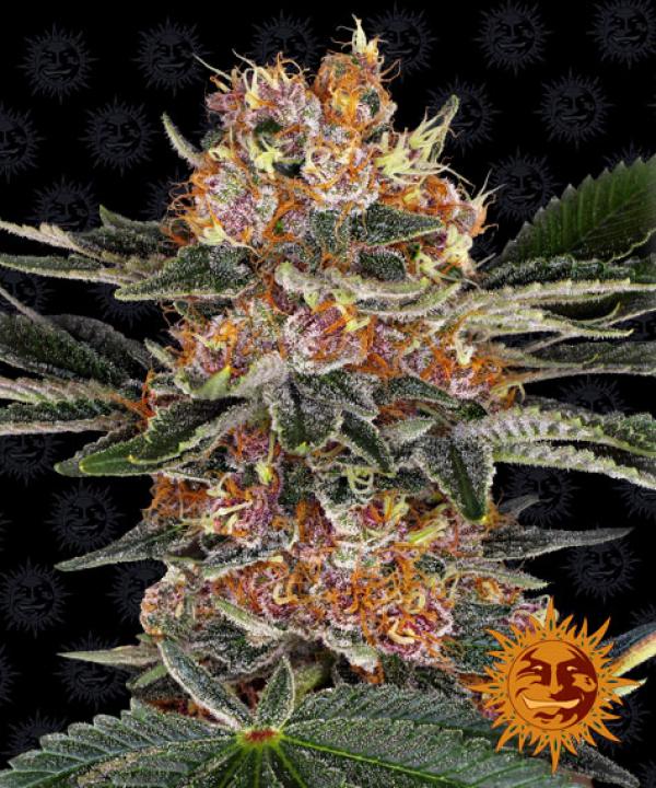 Purple Punch Feminised Cannabis Seeds | Barney's Farm