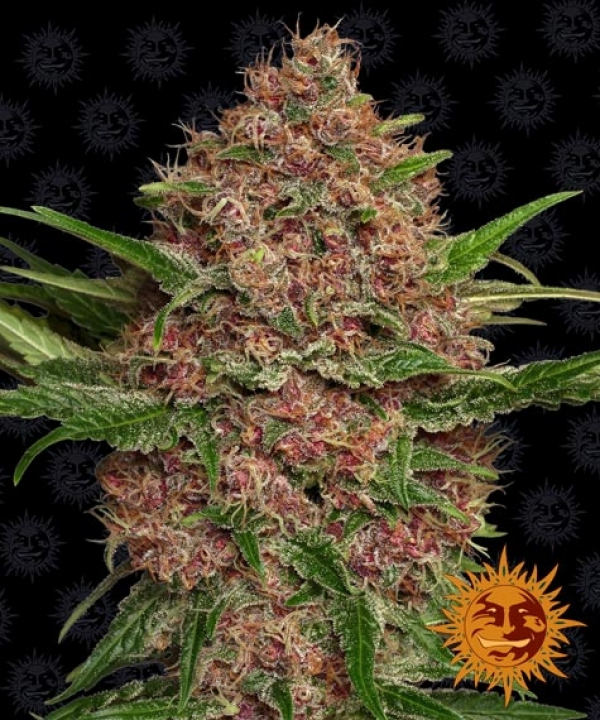 Purple Punch Auto Feminised Cannabis Seeds | Barney's Farm