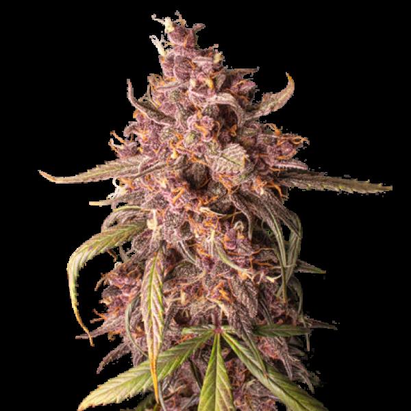 Purple Punch Auto Feminised Cannabis Seeds   Seed Stockers
