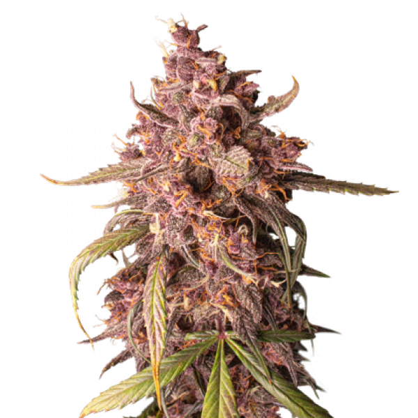 Purple Punch Auto Feminised Cannabis Seeds | Seed Stockers