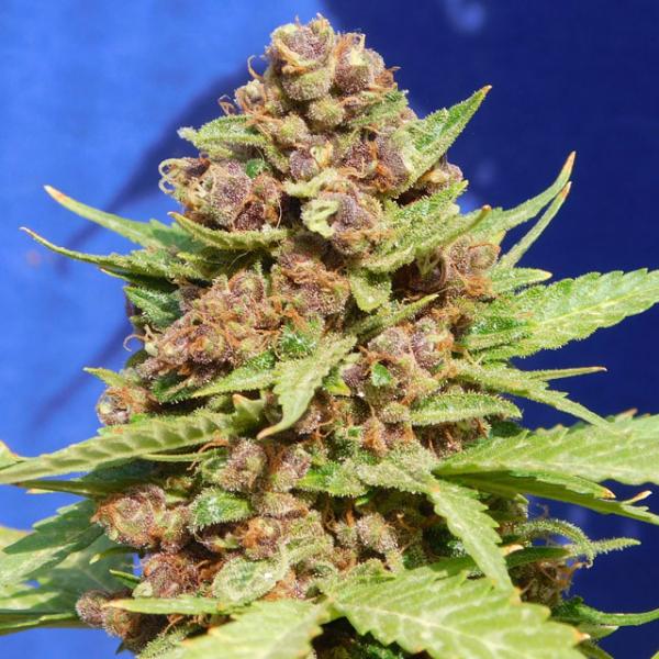 Purple Punch Cookies Feminised Cannabis Seeds | Original Sensible Seeds