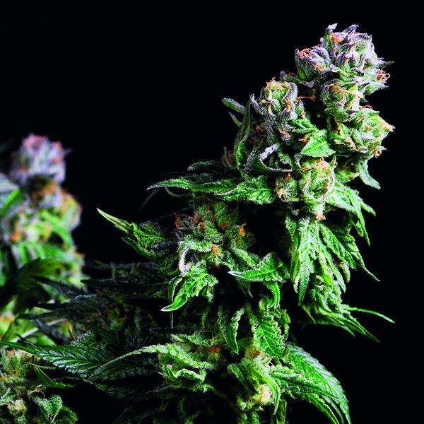 Purple Urkle Feminised Cannabis Seeds | Pyramid Seeds USA Range