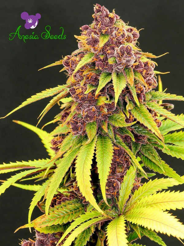 Purps OG Feminised Cannabis Seeds - Anesia Seeds