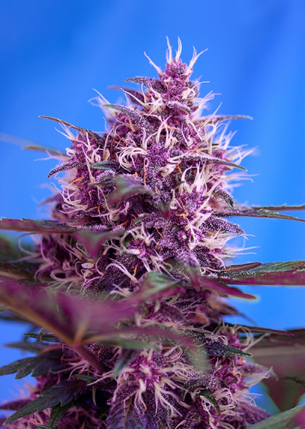 Auto Red Poison Feminised Cannabis Seeds | Sweet Seeds