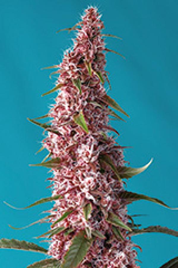 Red Pure Auto CBD Feminised Cannabis Seeds | Sweet Seeds