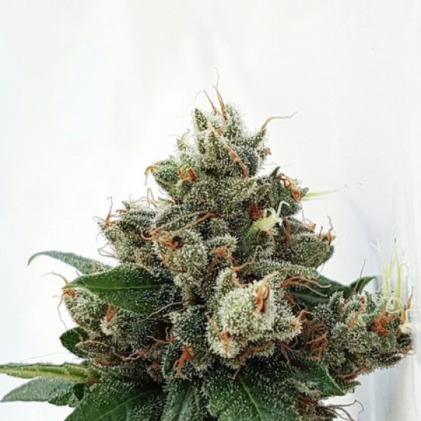 Respect 4 Gorilla Feminised Cannabis Seeds | Expert Seeds
