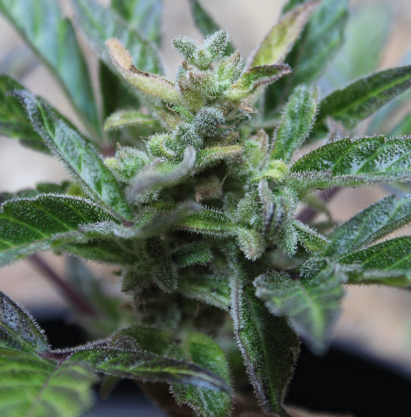 Robocrop x Blueberry Auto Feminised Cannabis Seeds | Cream Of The Crop