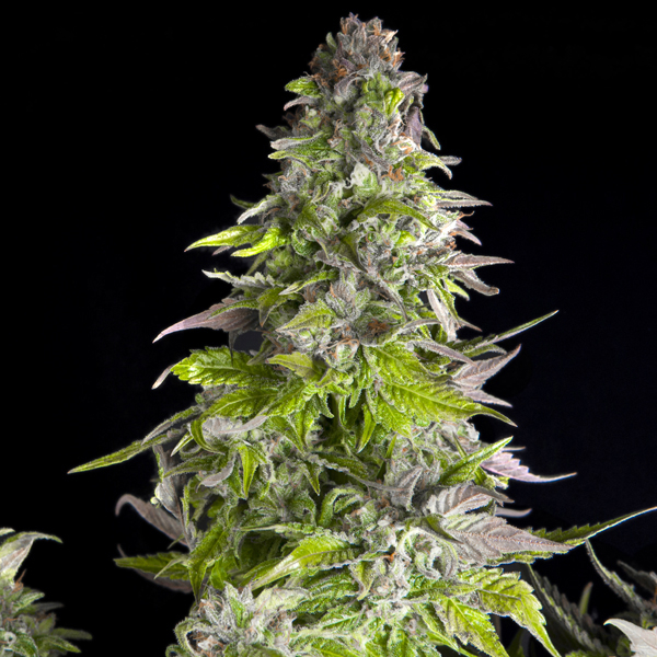Romulan Feminised Cannabis Seeds | Pyramid Seeds USA Range