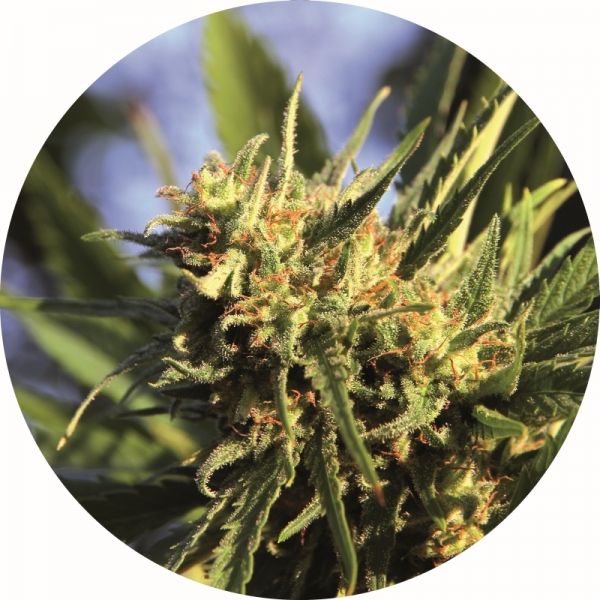 Super Auto Tao Regular Cannabis Seeds