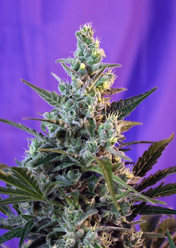 Auto Sweet Skunk Feminised Cannabis Seeds | Sweet Seeds