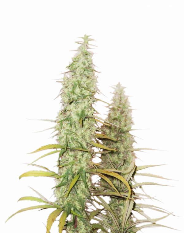 Santa Marta Haze Feminised Cannabis Seeds | Seed Stockers