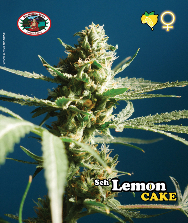 Sch' Lemon Cake Feminised Cannabis Seeds | Big Buddha Seeds
