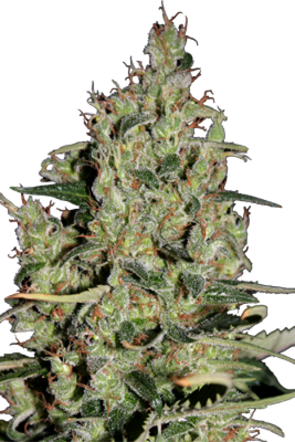 Auto Critical Feminised Cannabis Seeds