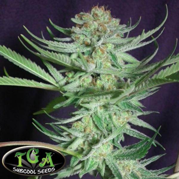 Shangrila Regular Cannabis Seeds | TGA Seeds