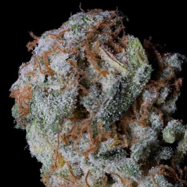 Sherbert Glue Feminised Cannabis Seeds   Big Head Seeds