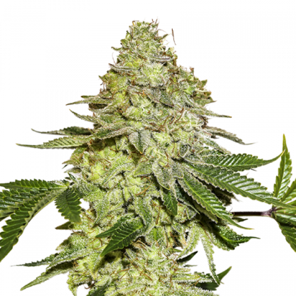 Sherbet Feminised Cannabis Seeds | Seed Stockers