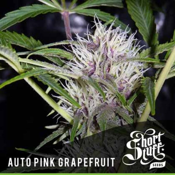 Auto Pink Grapefruit Feminised Cannabis Seeds | Shortstuff Seeds