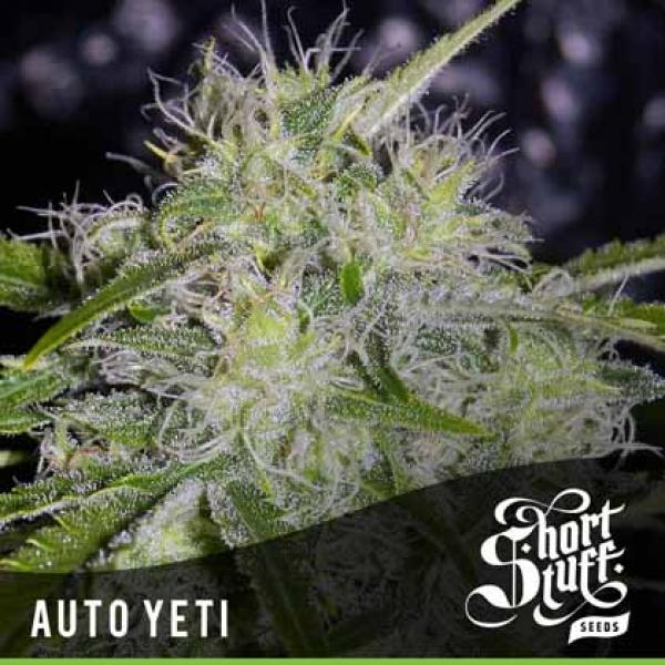 Auto Yeti Feminised Cannabis Seeds   Shortstuff Seeds