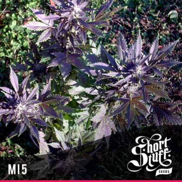 Mi5 Feminised Cannabis Seeds | Shortstuff Seeds