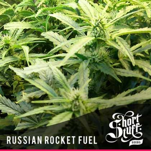 Russian Rocket Fuel Feminised Cannabis Seeds | Shortstuff Seeds
