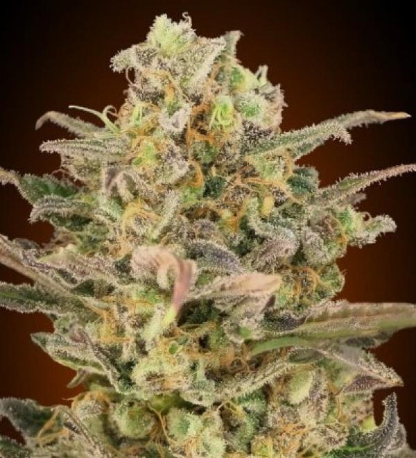 Somango Glue Feminised Cannabis Seeds   Advanced Seeds