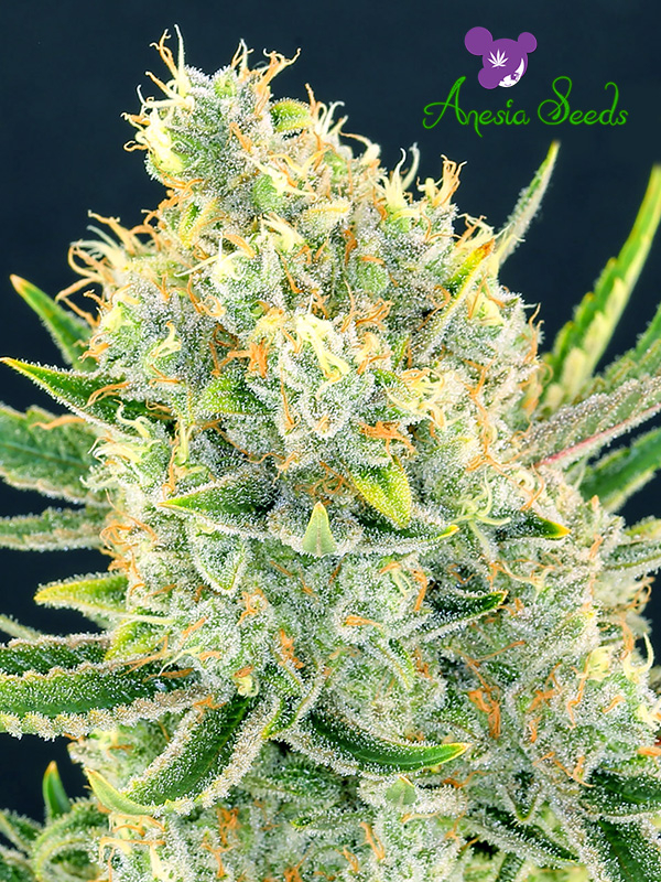 Sour Apple Feminised Cannabis Seeds - Anesia Seeds