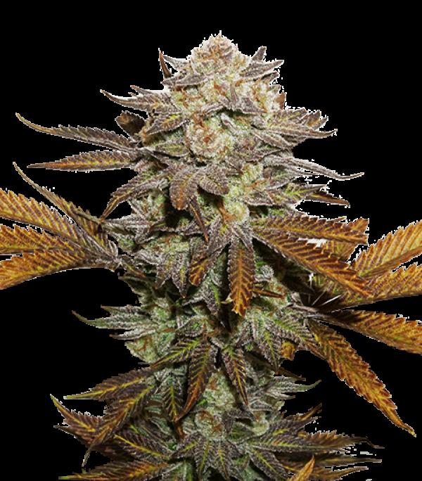 Sticky Fingers Feminised Cannabis Seeds | Seed Stockers