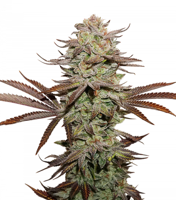 Sticky Fingers Auto Feminised Cannabis Seeds | Seed Stockers