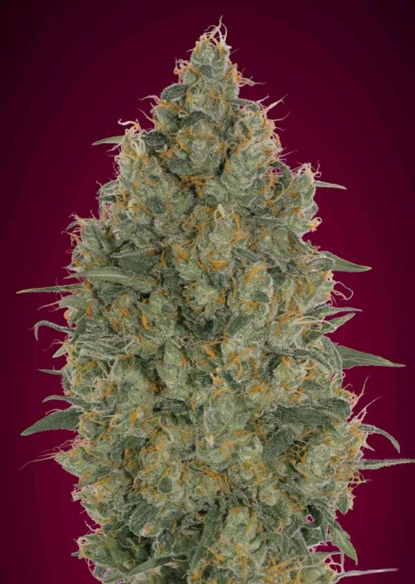 Strawberry Gum Feminised Cannabis Seeds   Advanced Seeds