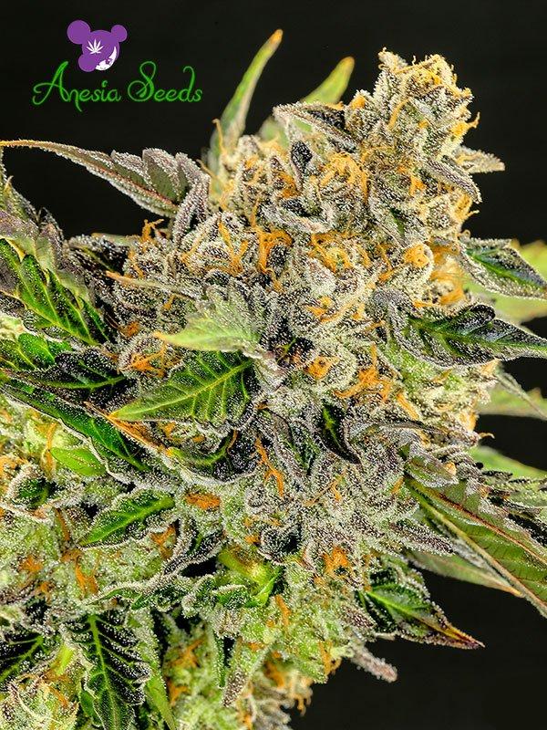 Strawberry Kush Feminised Cannabis Seeds - Anesia Seeds
