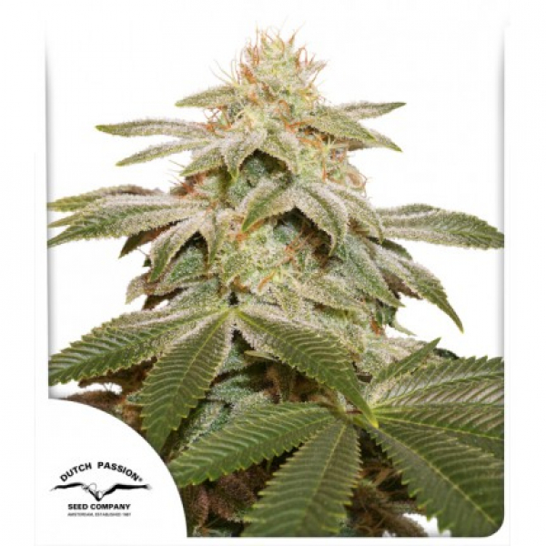 Sugar Bomb Punch Feminised Cannabis Seeds | Dutch Passion