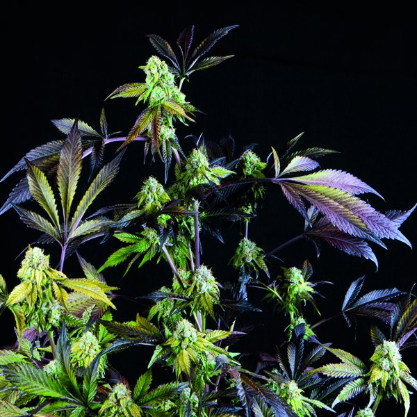 Sunset Sherbet Feminised Cannabis Seeds | Pyramid Seeds USA Range