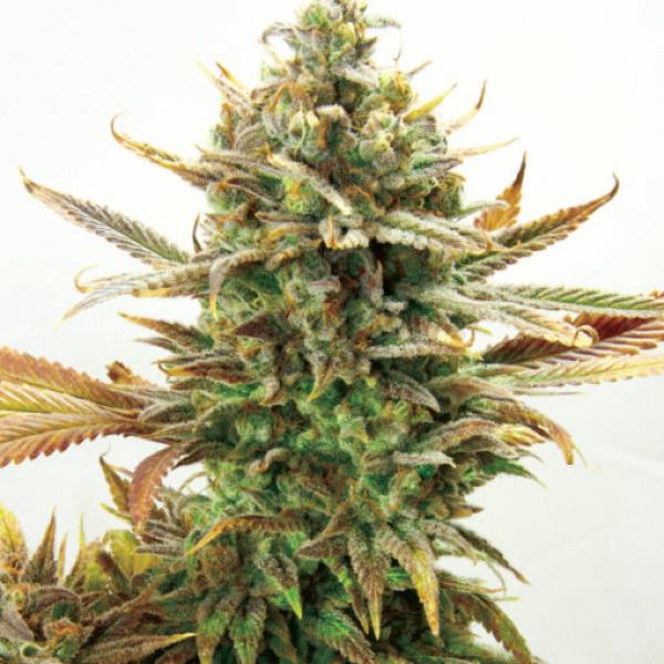 Super Critical Bud CBD Feminised Cannabis Seeds | Garden of Green