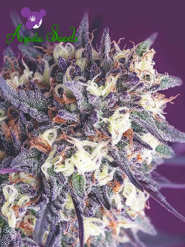 Super Glue Feminised Cannabis Seeds - Anesia Seeds