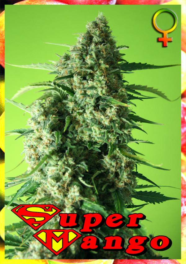 Super Mango Feminised Cannabis Seeds   Rockwell Seeds