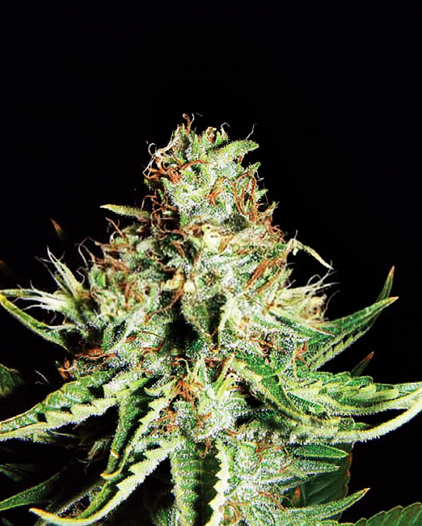 Sweet Cream Auto Feminised Cannabis Seeds | Expert Seeds